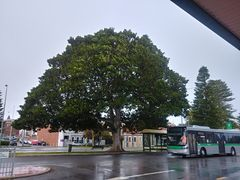 Tree at Fremantle Railway station.jpg