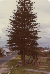 Thomas up a pine tree in South Fremantle, 1985.png